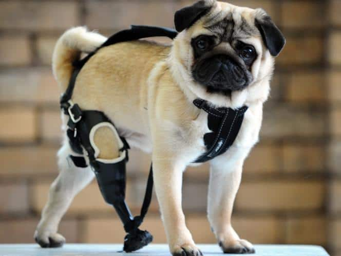 Pug with a prosthetic leg