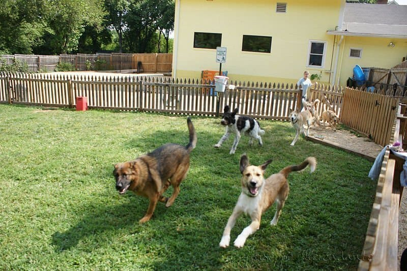 Dogs at a boarding facility running in grass