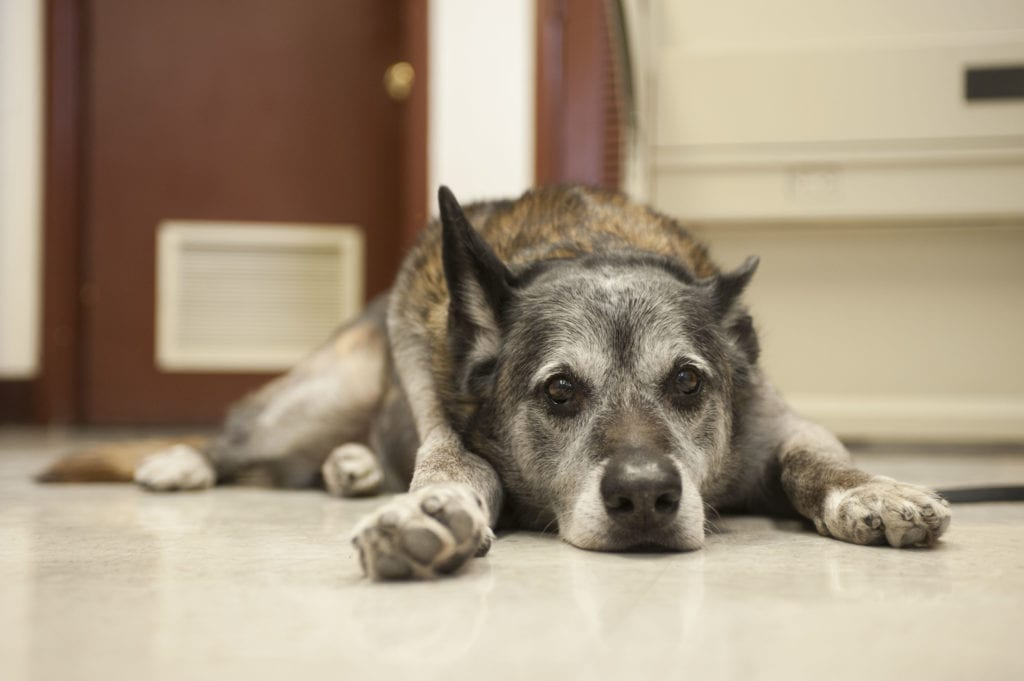 premedicated dog for surgery