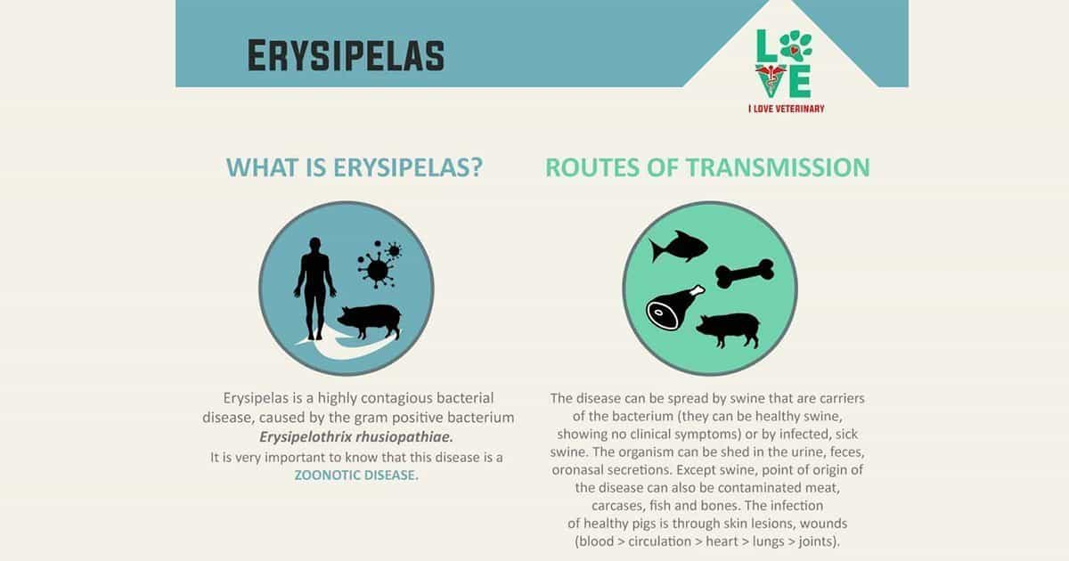 Swine Erysipelas – Transmission, Detection, Treatment, and Prevention