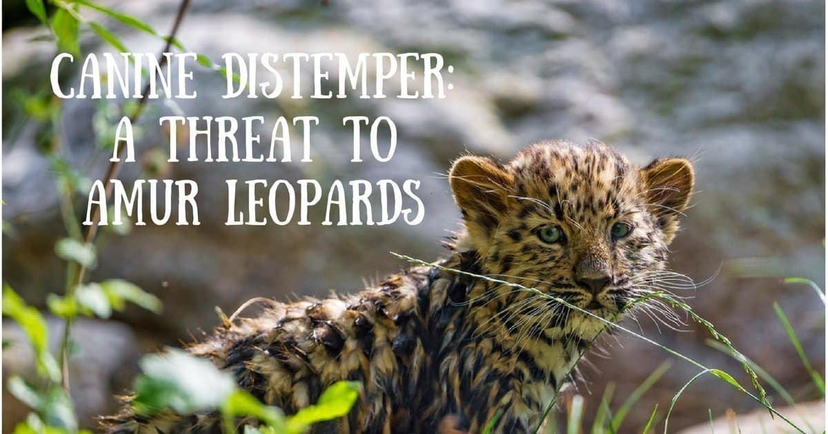 Canine Distemper: a threat to Amur Leopards