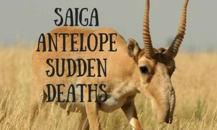 Saiga antelope sudden deaths