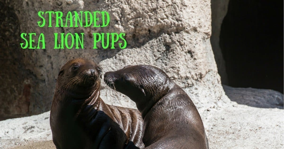 Stranded sea lion pups