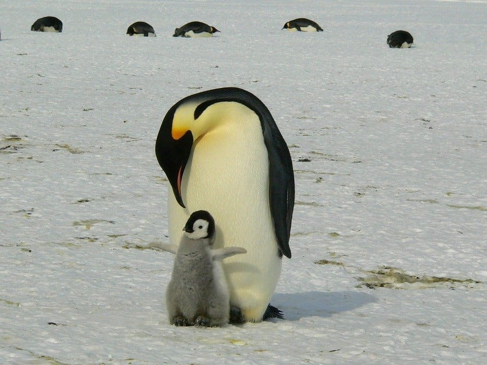 baby penguin and mother