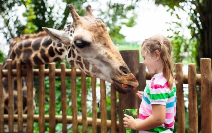 a girl feeding a giraffe in a zoo, I Love Veterinary