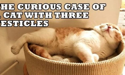 The Curious Case of a Cat with Three Testicles told by the owner – Mirela Mlinarec