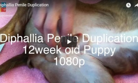 Diphallia Penile Duplication Video by The Vet Surgery Channel