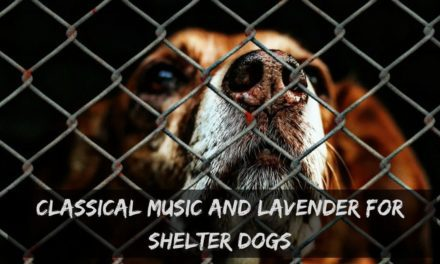 Classical music and lavender for shelter dogs