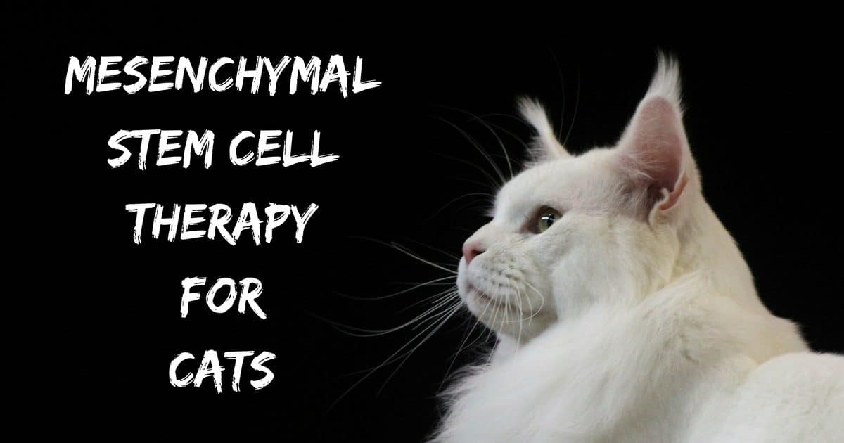 Mesenchymal Stem Cell Therapy for Cats