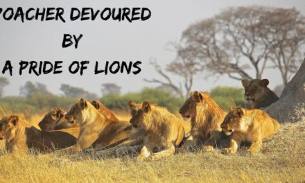 Poacher devoured by a Pride of Lions