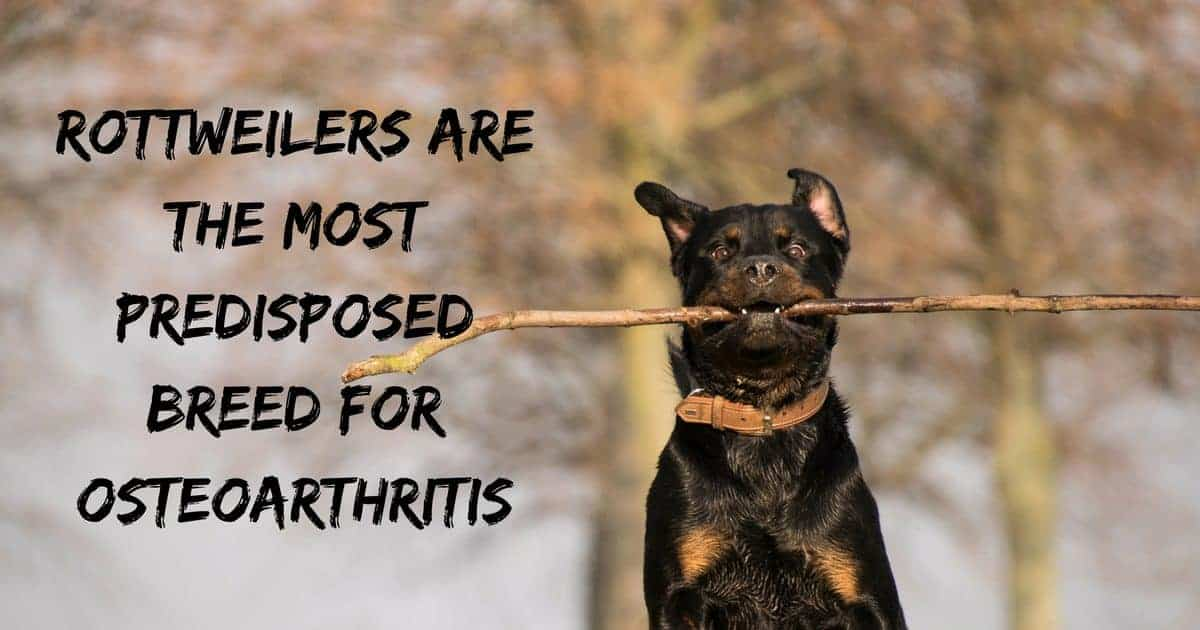Rottweilers are the most predisposed breed for osteoarthritis