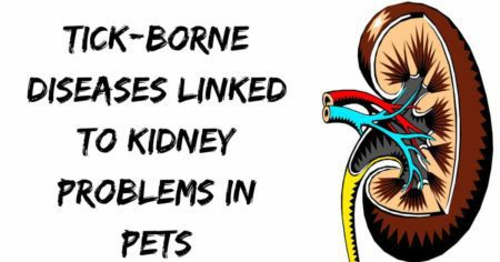 Tick-borne diseases linked to kidney problems in pets