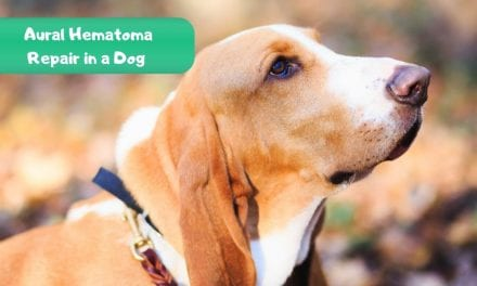 Aural Hematoma Repair in a Dog – Veterinary Surgery Video