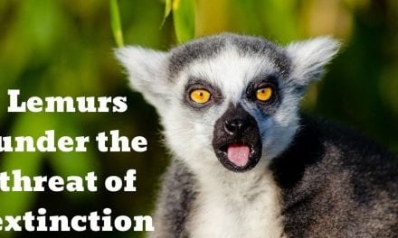 Lemurs are under the threat of extinction