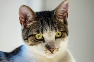 cat, green eyes, congenital blood disorder