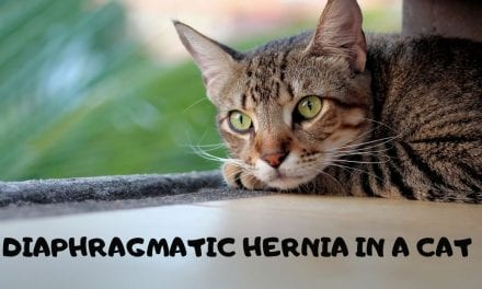 Diaphragmatic hernia in a cat – Veterinary Surgery Video