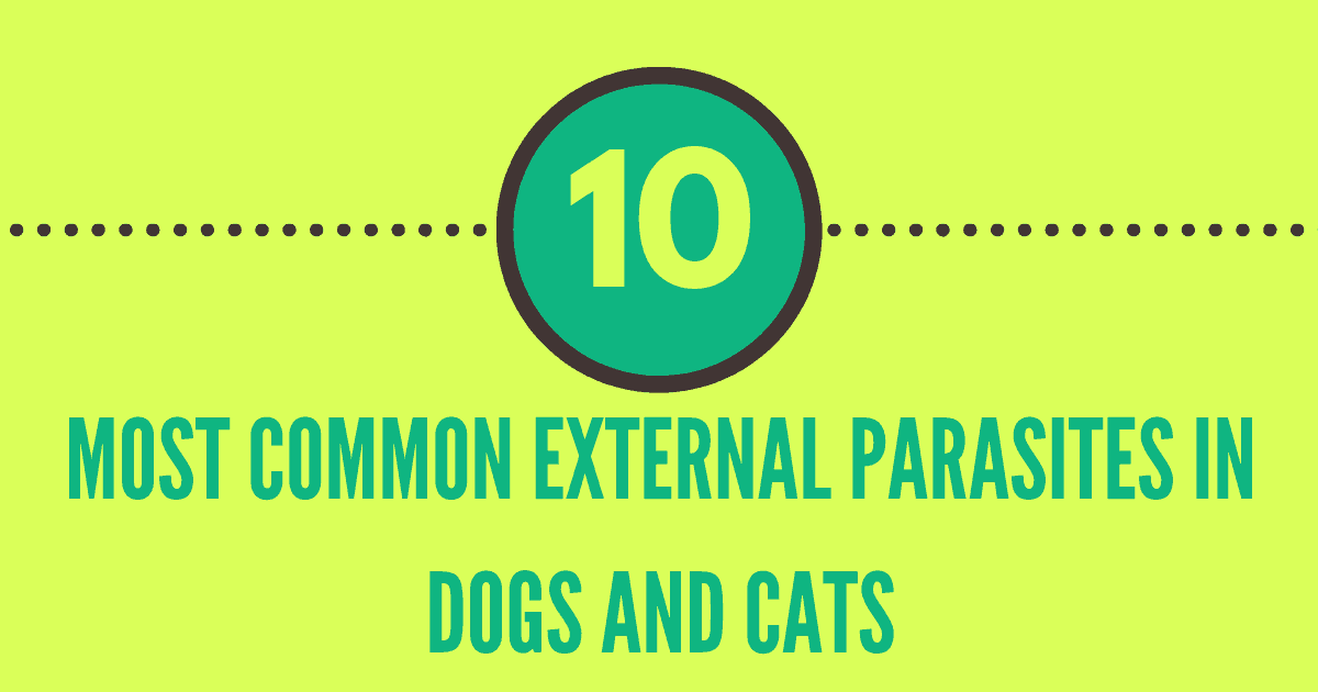 Most common external parasites in dogs and cats