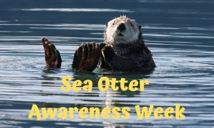 Sea Otter Awareness Week – September 23-29