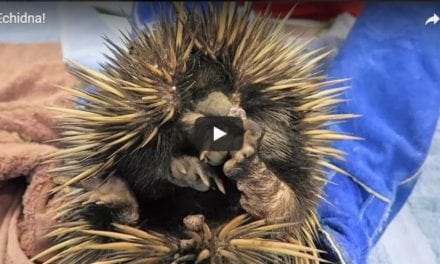 Examination of an Echidna – Video by Dr. Gerardo Poli