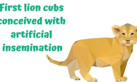 First lion cubs conceived with artificial insemination