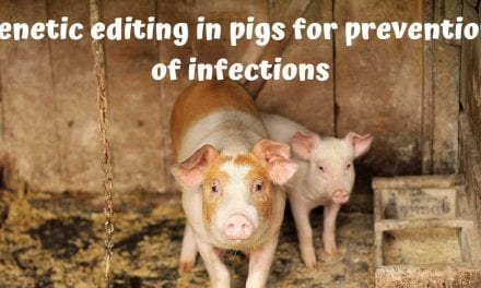Genetic editing in pigs for prevention of infections
