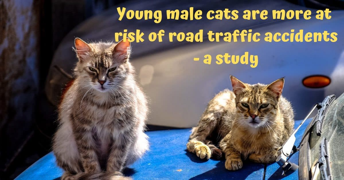 Young male cats are more at risk of road traffic accidents – A study