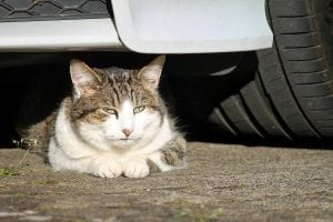 Young male cats are more at risk of road traffic accidents