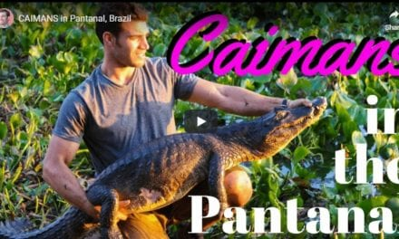 Caimans in Pantanal, Brazil – Video by Dr. Evan Antin