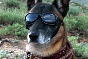 Military German Shepherd with goggles