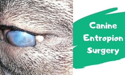 Canine Entropion Surgery Video