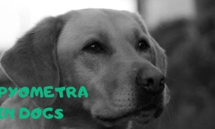 Pyometra in dogs