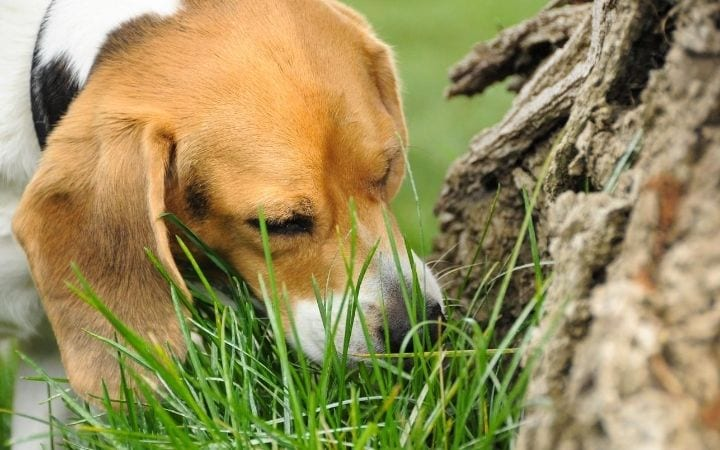 why do dog at grass? by I Love Veterinary