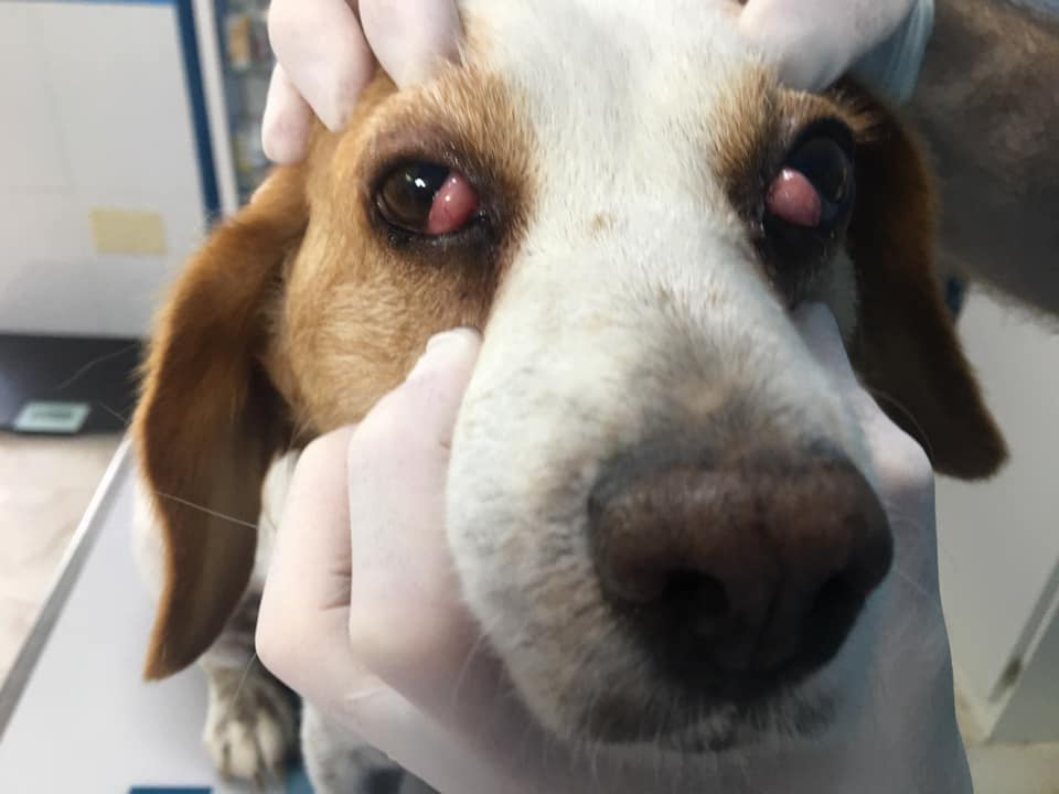 CHERRY EYE IN DOGS I Love Veterinary