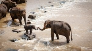 group of elephants in water