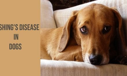 Cushing's disease in dogs