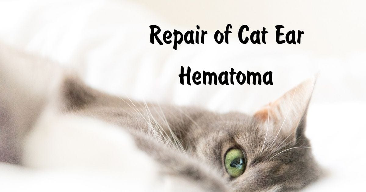 Repair of Cat Ear Hematoma