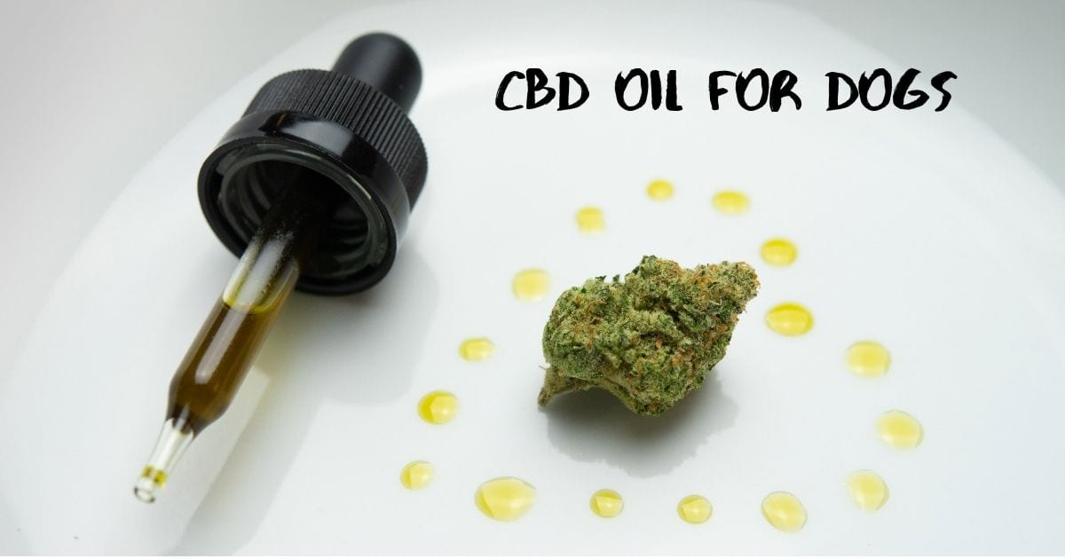 CBD oil for dogs – All you need to know