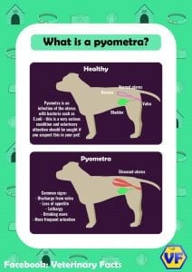 Pyometra explanation graphic