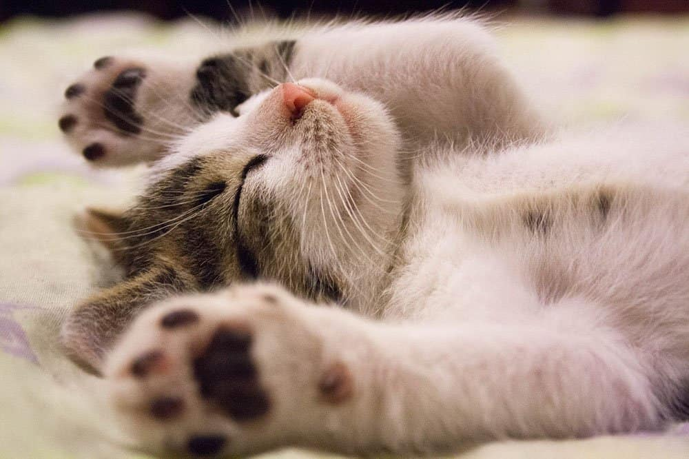 cat laying hands up