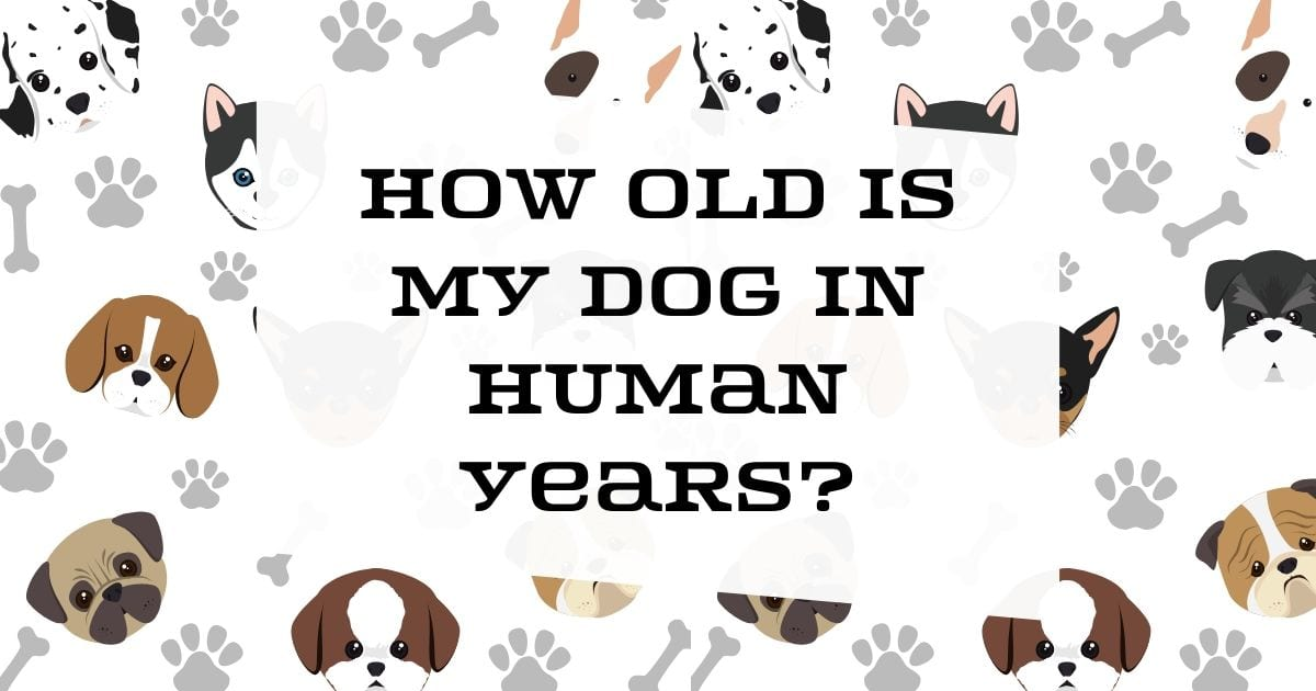 How old is my dog in Human years?