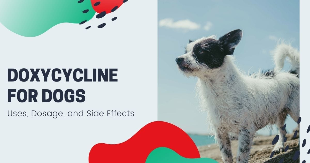 Doxycycline For Dogs: Uses, Dosage and Side Effects