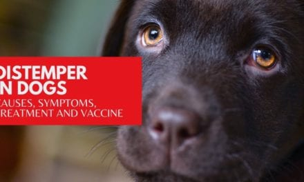 Distemper in Dogs – Causes, Symptoms, Treatment and Vaccine