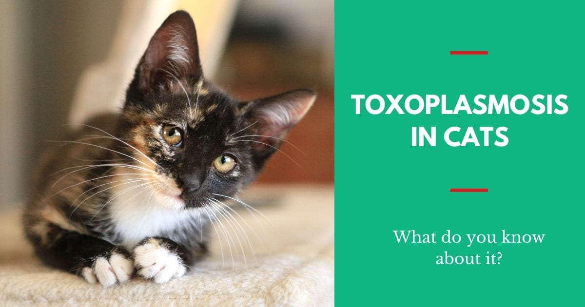 Toxoplasmosis in Cats – What Do You Know About It?