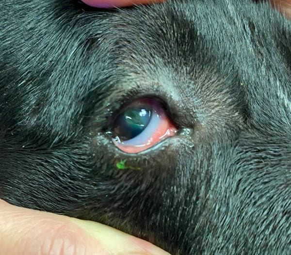Dog eye after removing a foxtail by I Love Veterinary