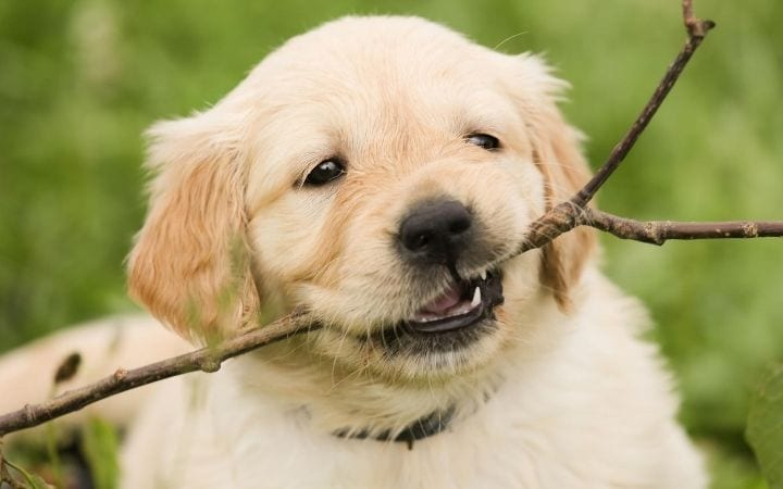 Puppy chewing branch, Coccidia in puppies - I Love Veterinary