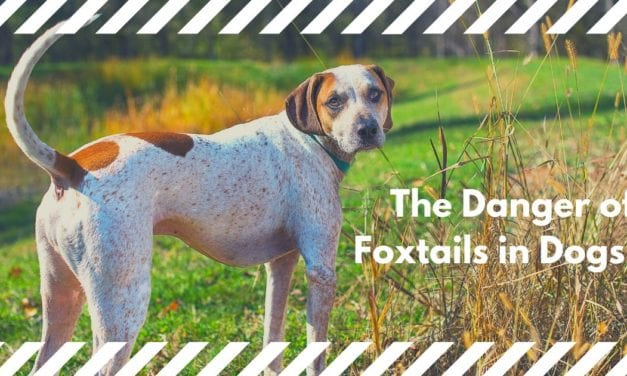 The Danger of Foxtails in Dogs