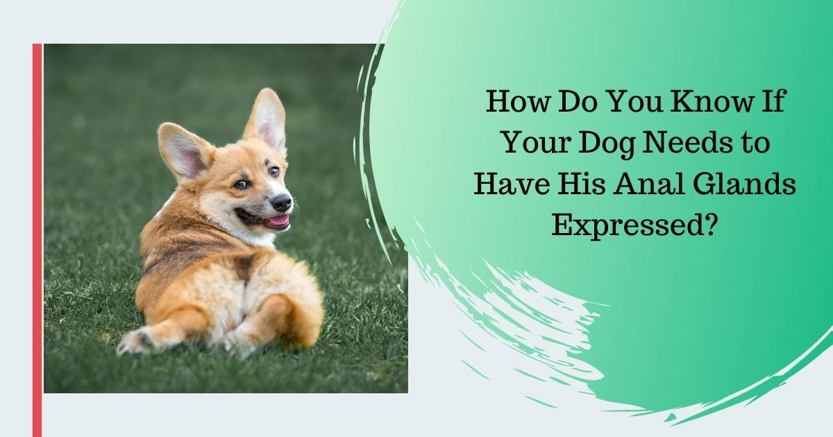 How Do You Know If Your Dog Needs to Have His Anal Glands Expressed?