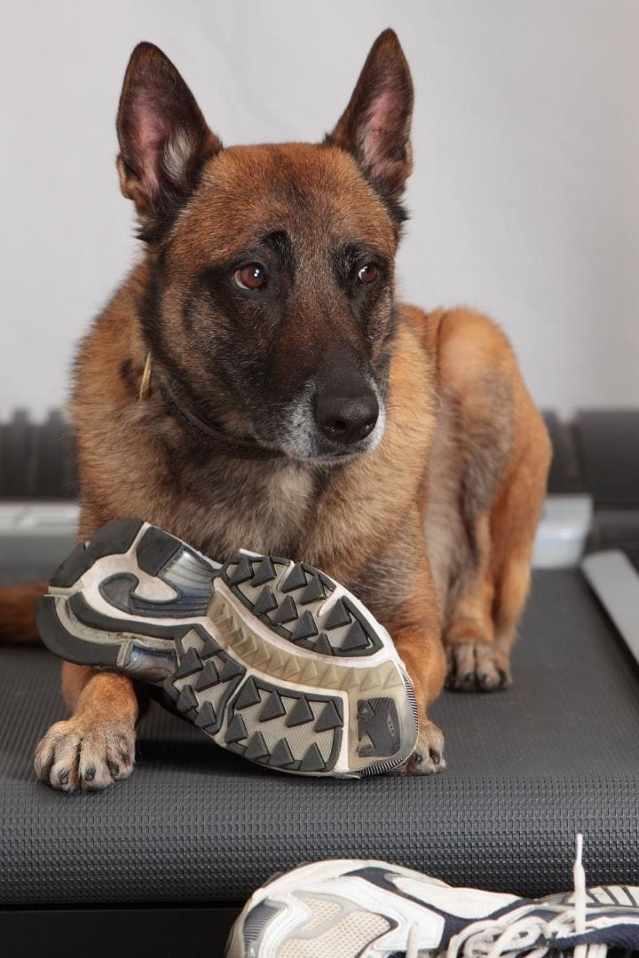 Dog with sneakers exercising on dog treadmill - I Love Veterinary