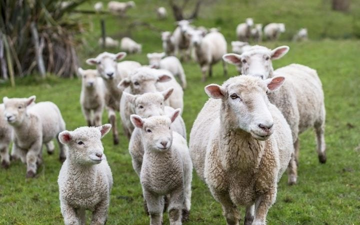 Lambs and Sheep, Antibiotic Use in Livestock_ Reduce Antibiotic Resistance - I Love Veterinary