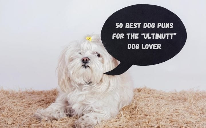 "Maltese Bichon with banner 50 Best Dog Puns for the ""Ultimutt"" Dog Lover - I Love Veterinary"